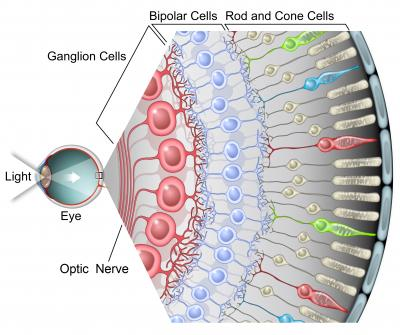Photoreceptors-2